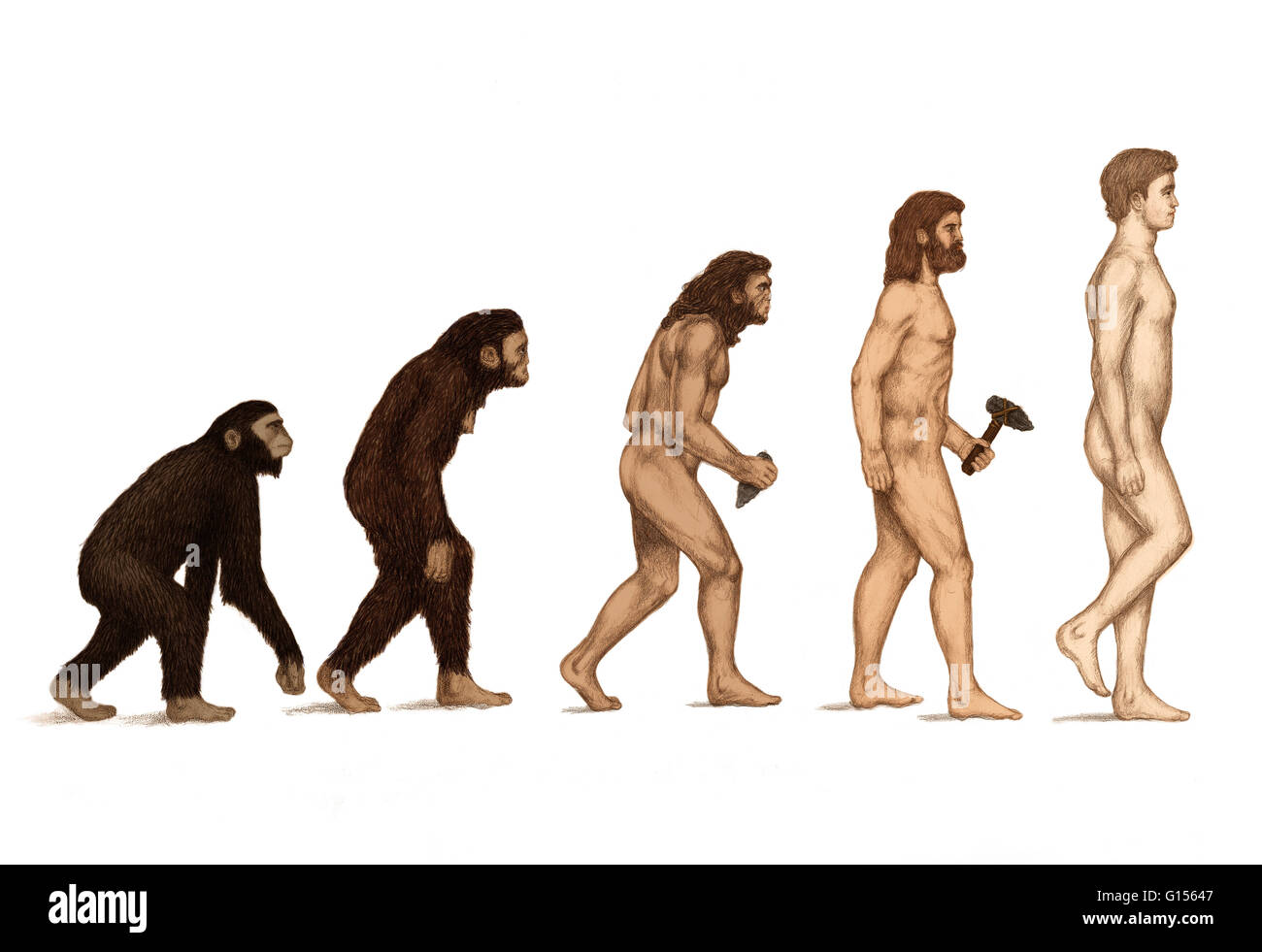 an essay on hominid species Homo erectus also showed a shortening of the forearm, making the limb proportions of this species quite close to that of modern humans it was the first hominid to show signs of an external nose with downward pointing nostrils.