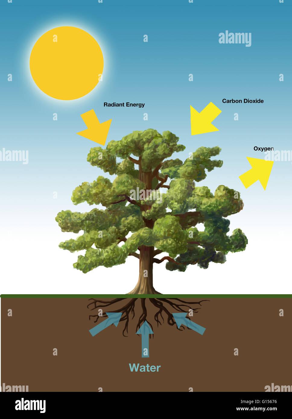 describe the process of photosynthesis