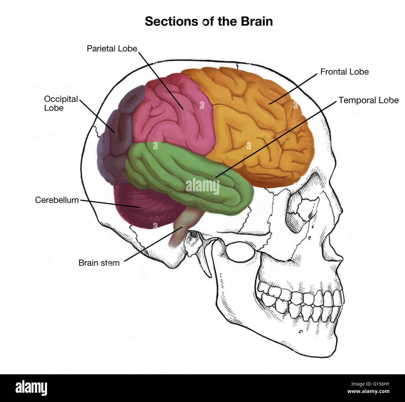 Illustration of a human skull and brain, with important sections ...