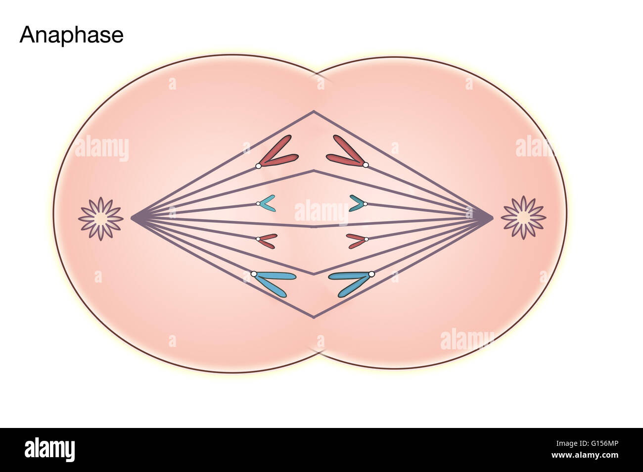 Diagram of anaphase of mitosis in an animal cell stock photo diagram of anaphase of mitosis in an animal cell pooptronica