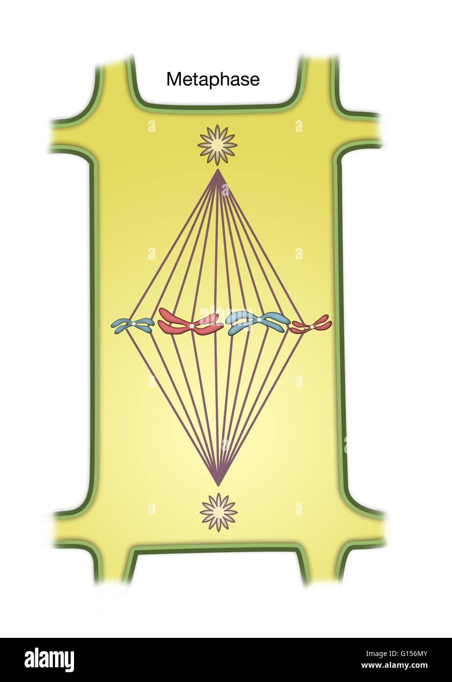 metaphase diagram wwwimgkidcom the image kid has it