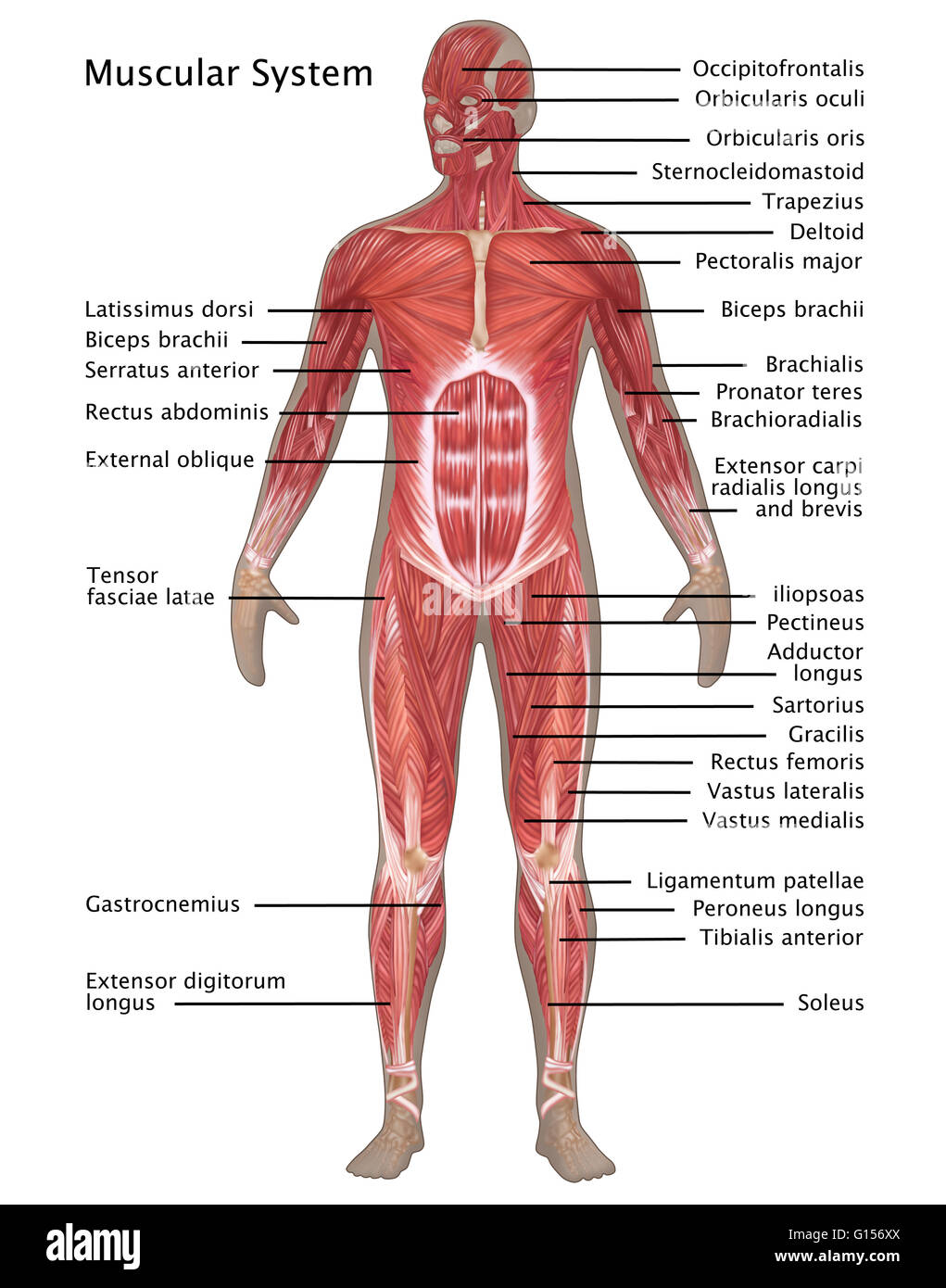 illustration of the muscular system in the male anatomy. labeled, Muscles