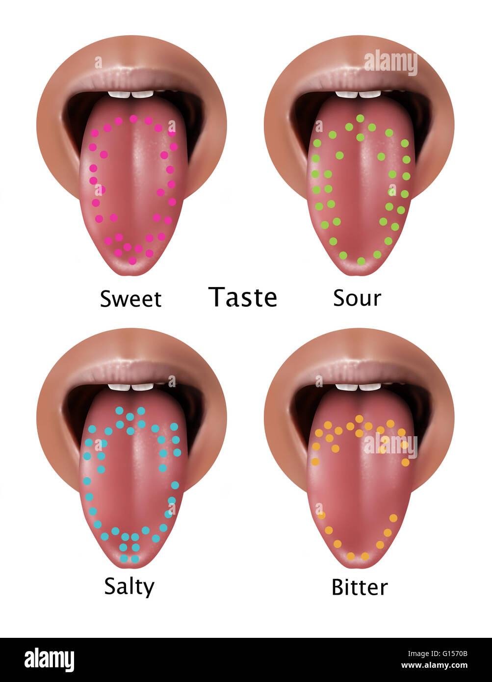 Tongue anatomy taste buds