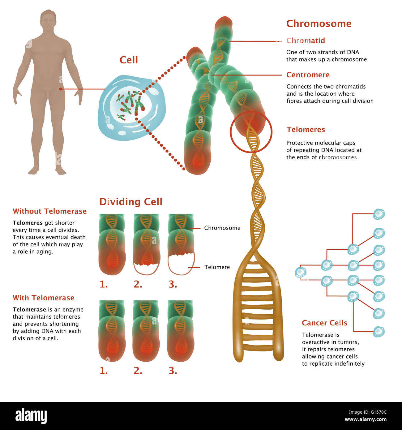 Illustrated diagram showing detailed chromosome structure and illustrated diagram showing detailed chromosome structure and depicting effects of telomerase in both aging cells ccuart Image collections