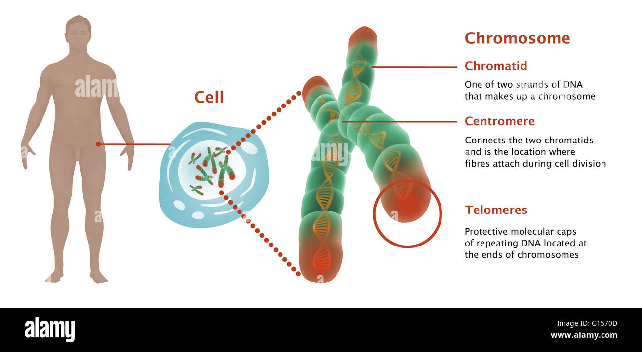 Illustration of telomeres on a chromosome; depicted are ...