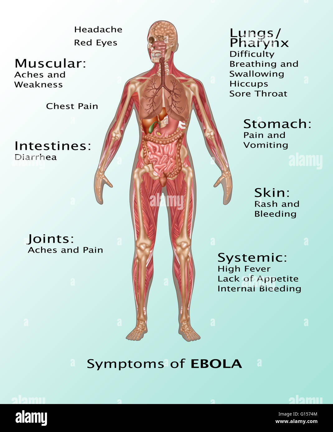 ebola virus in the human body. the ebola virus infects humans, Muscles