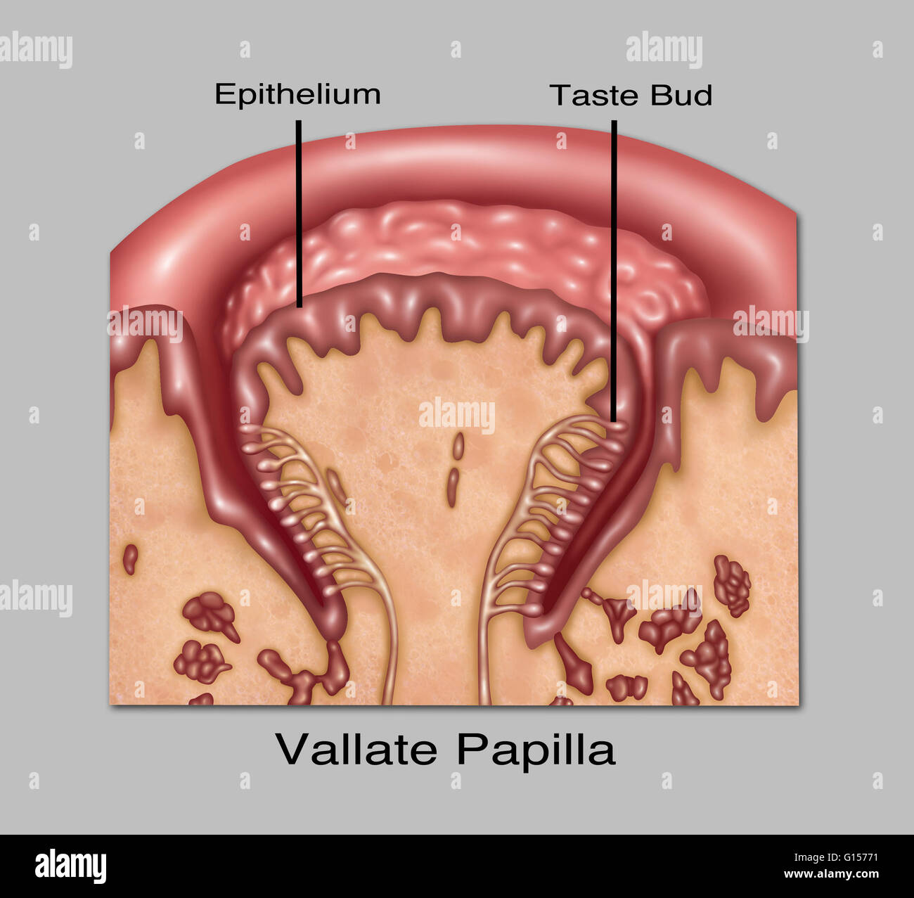 illustration of circumvallate or vallate papillae one