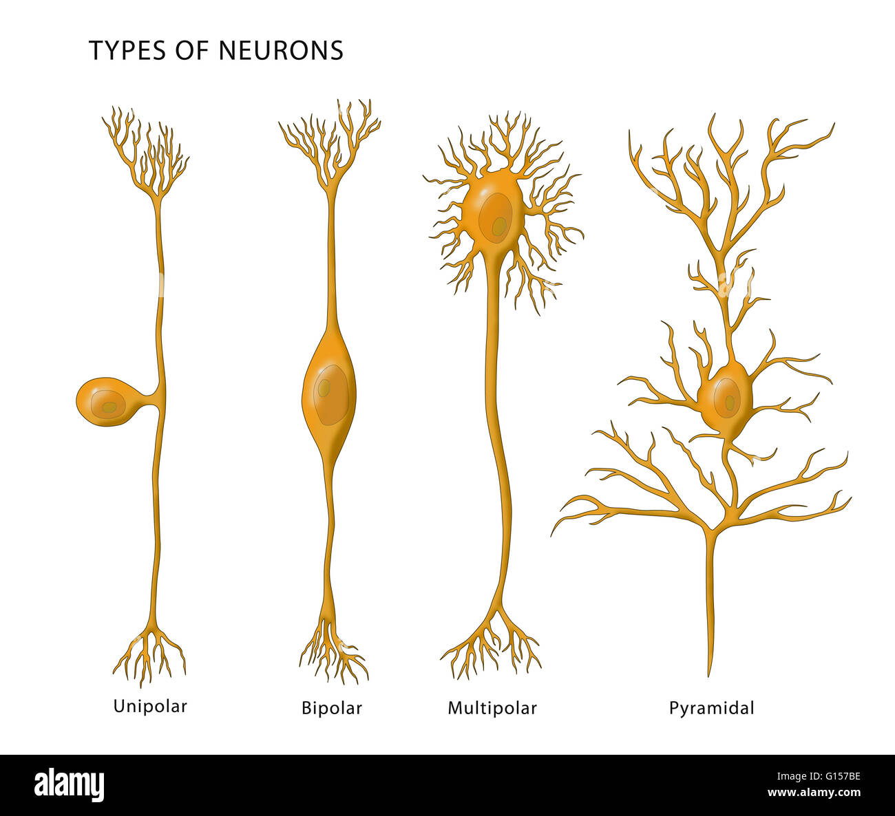 Illustration showing the 4 types of neurons. From left to right ...