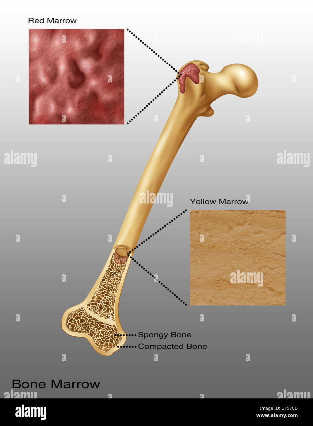 Illustration of bone marrow. Top diagram shows red bone ...