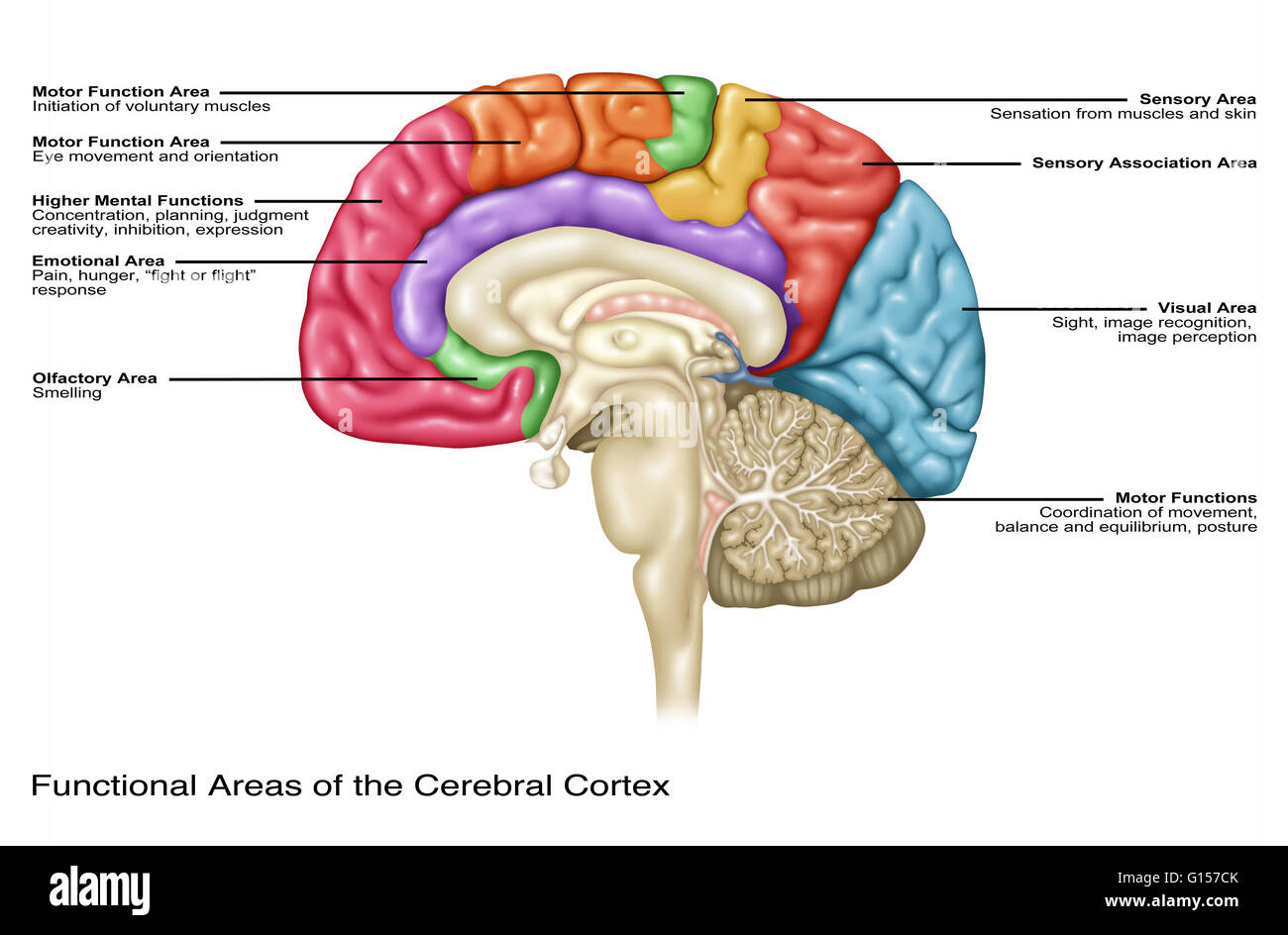 illustration of the functional areas of the cerebral cortex stock photo 103992467 alamy. Black Bedroom Furniture Sets. Home Design Ideas