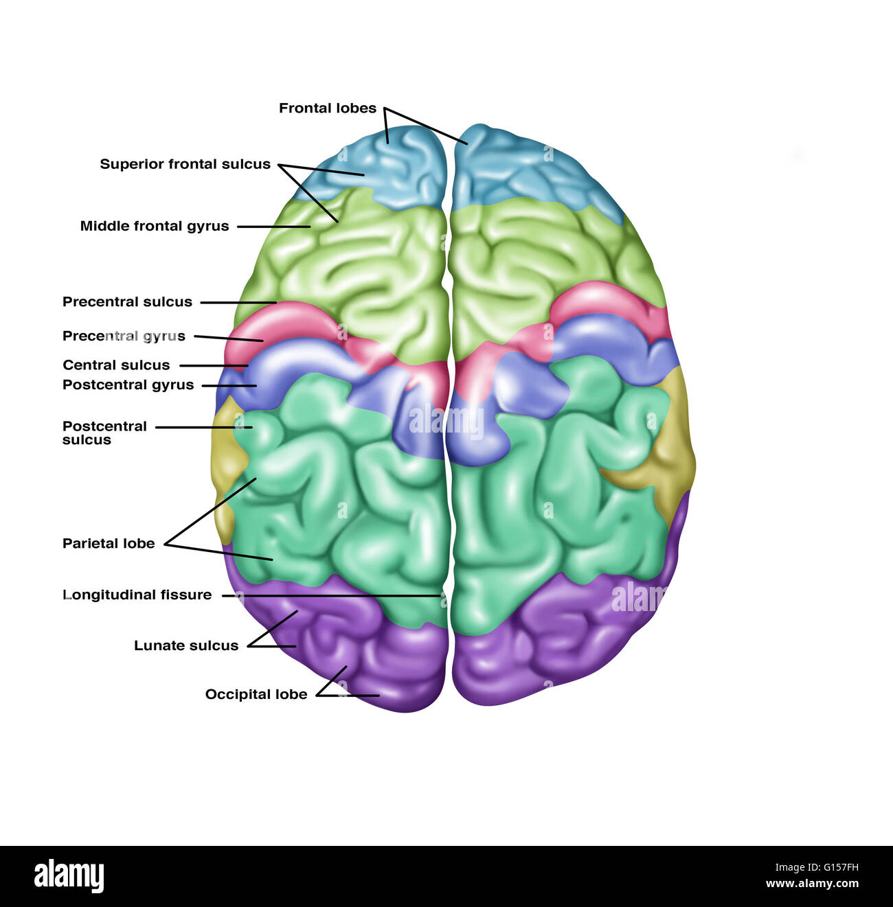 Illustration showing anatomy of a normal brain in a superior top illustration showing anatomy of a normal brain in a superior top view noted ccuart Choice Image
