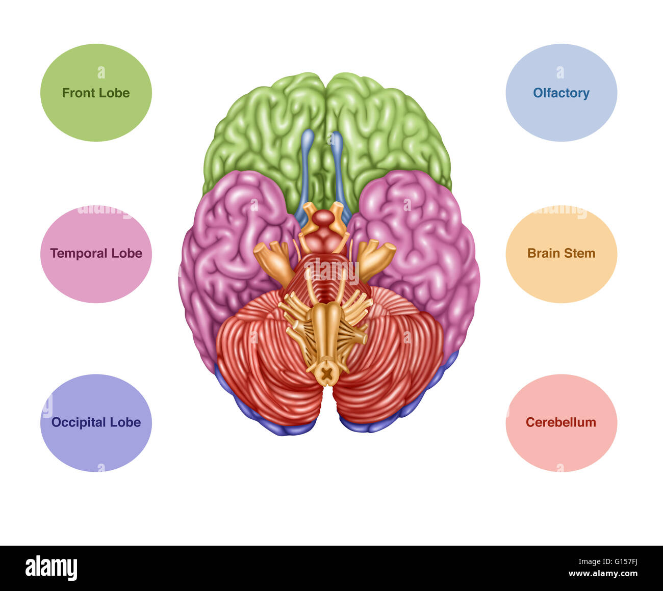 color coded brain depicting the following areas from an inferior view frontal lobe green