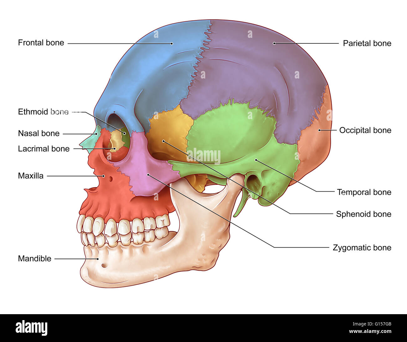 an illustration of the human skull from a lateral view. the bones, Human Body
