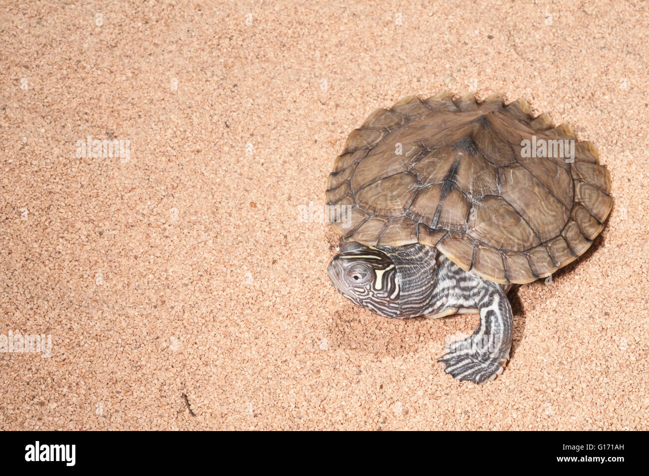 Mississippi Map Turtle Graptemys Pseudogeographica Kohni Native - Missisippi map