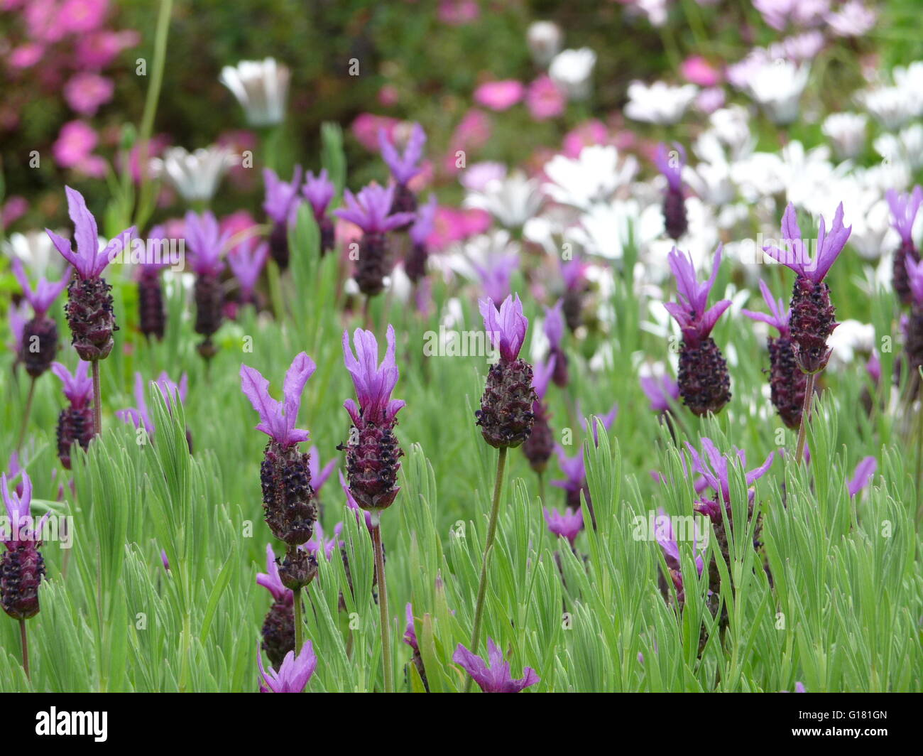 Flowering French lavender plants and wild flowers Stock Photo ...