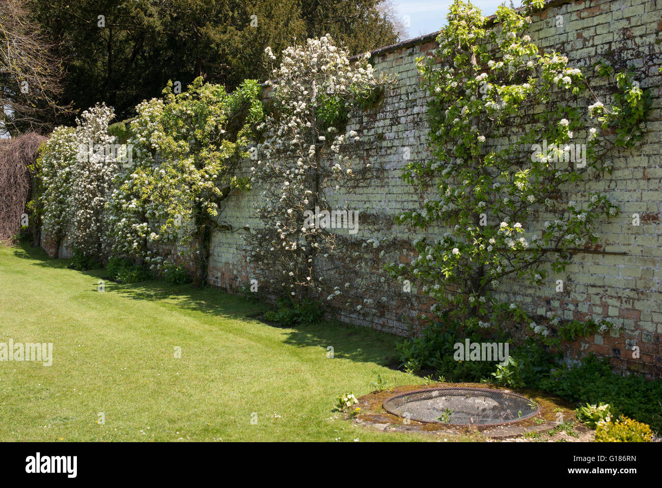 Espalier Fruit Trees In Blossom Against The Walled Garden At Rousham House  And Garden. Oxfordshire, England