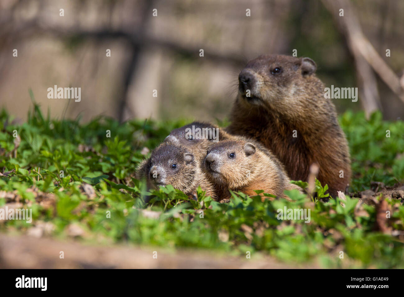 cute groundhog family marmota monax also known as a woodchuck