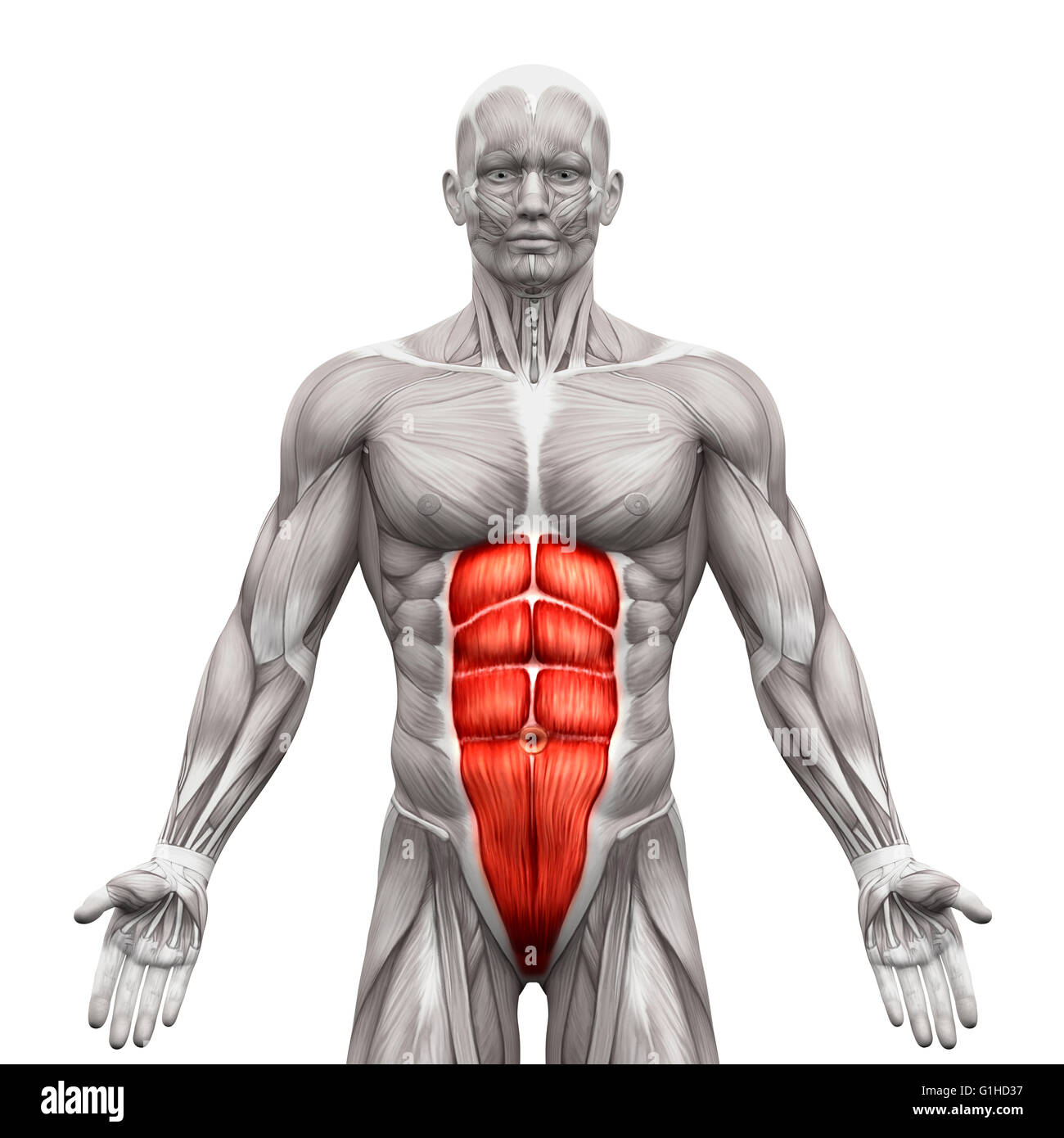 List Of Synonyms And Antonyms Of The Word Rectus Abdominis