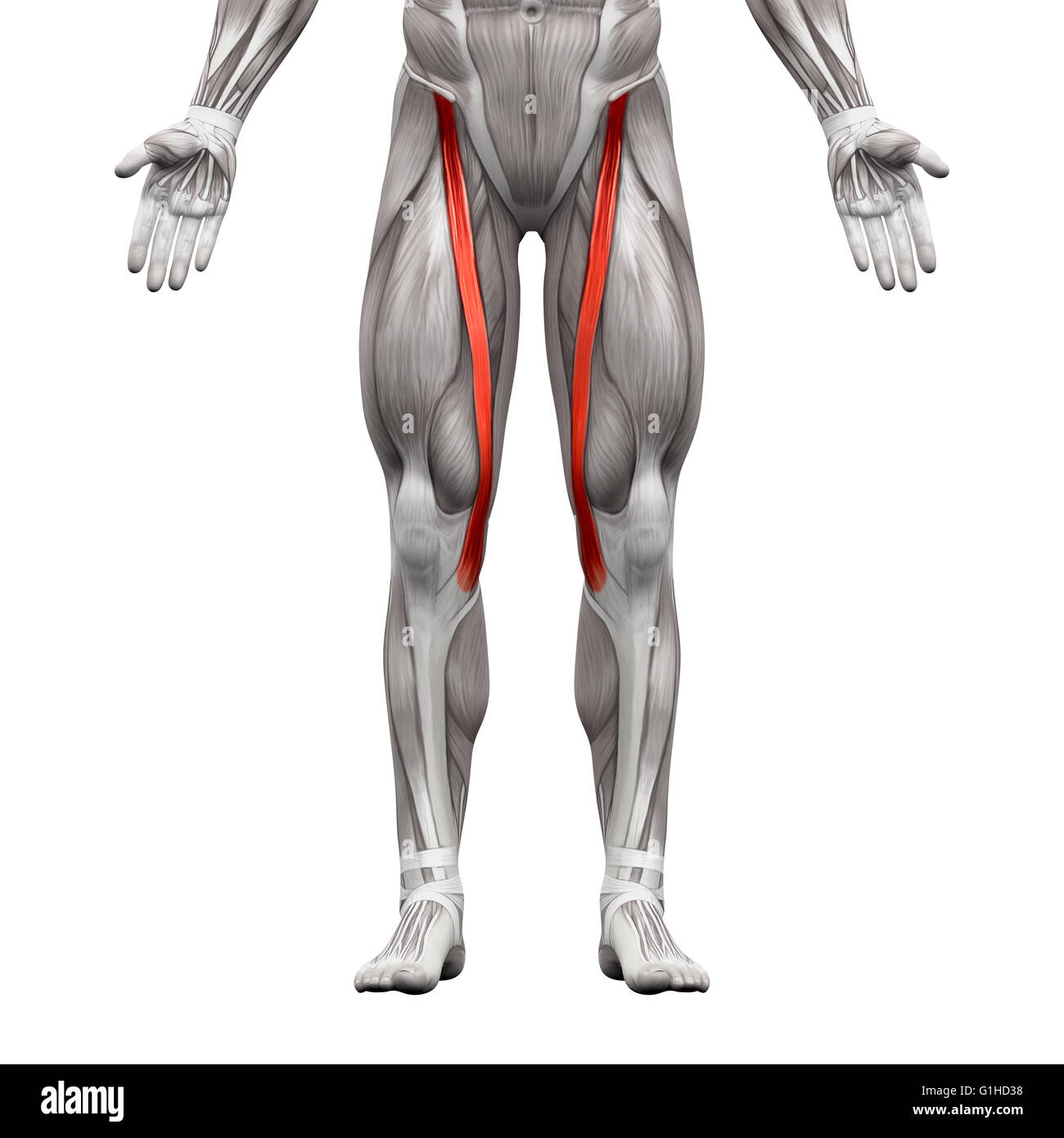Sartorius Muscle - Anatomy Muscles isolated on white - 3D ...