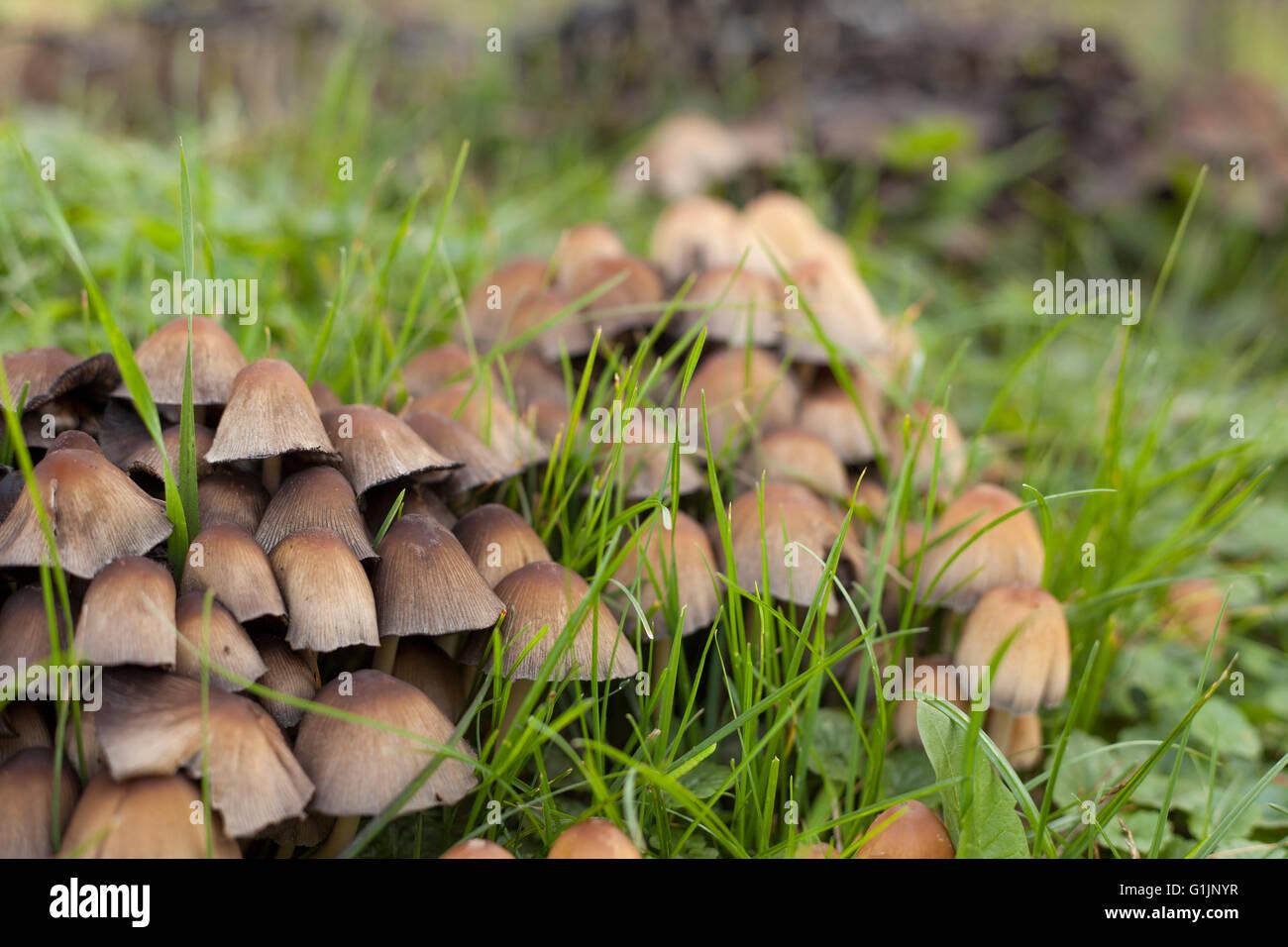 lawn grass mushroom stock photos u0026 lawn grass mushroom stock