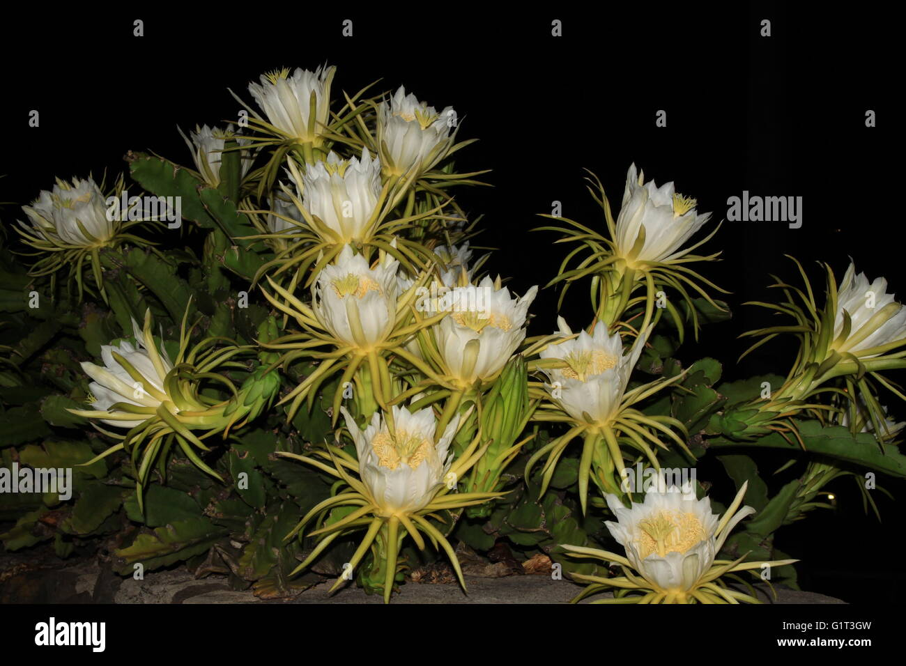 night blooming cereus queen of the night dragon fruit