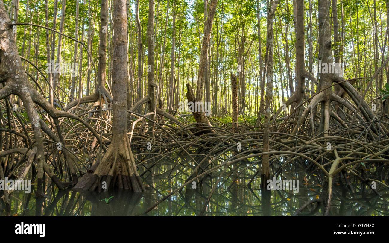mangrove swamps