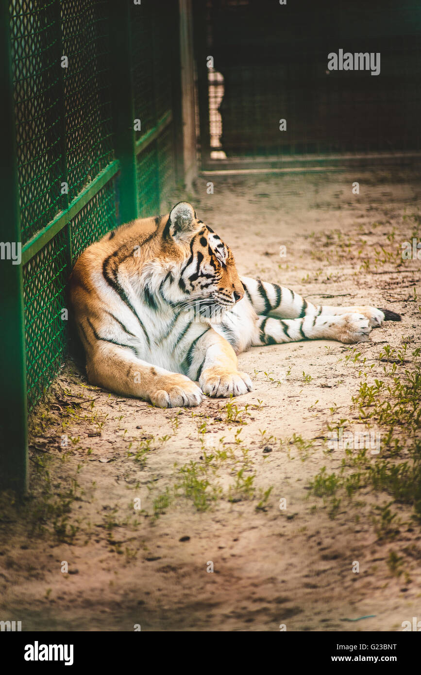 Sad tiger in a cage stock photo royalty free image 104566612 alamy - Tiger in cage images ...