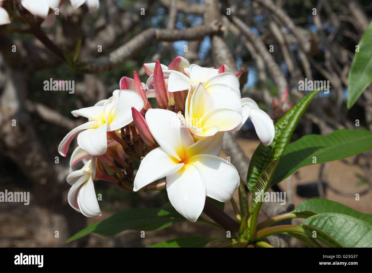 Flowers Of The Plumeria Rubra In The Koko Crater Botanical Garden