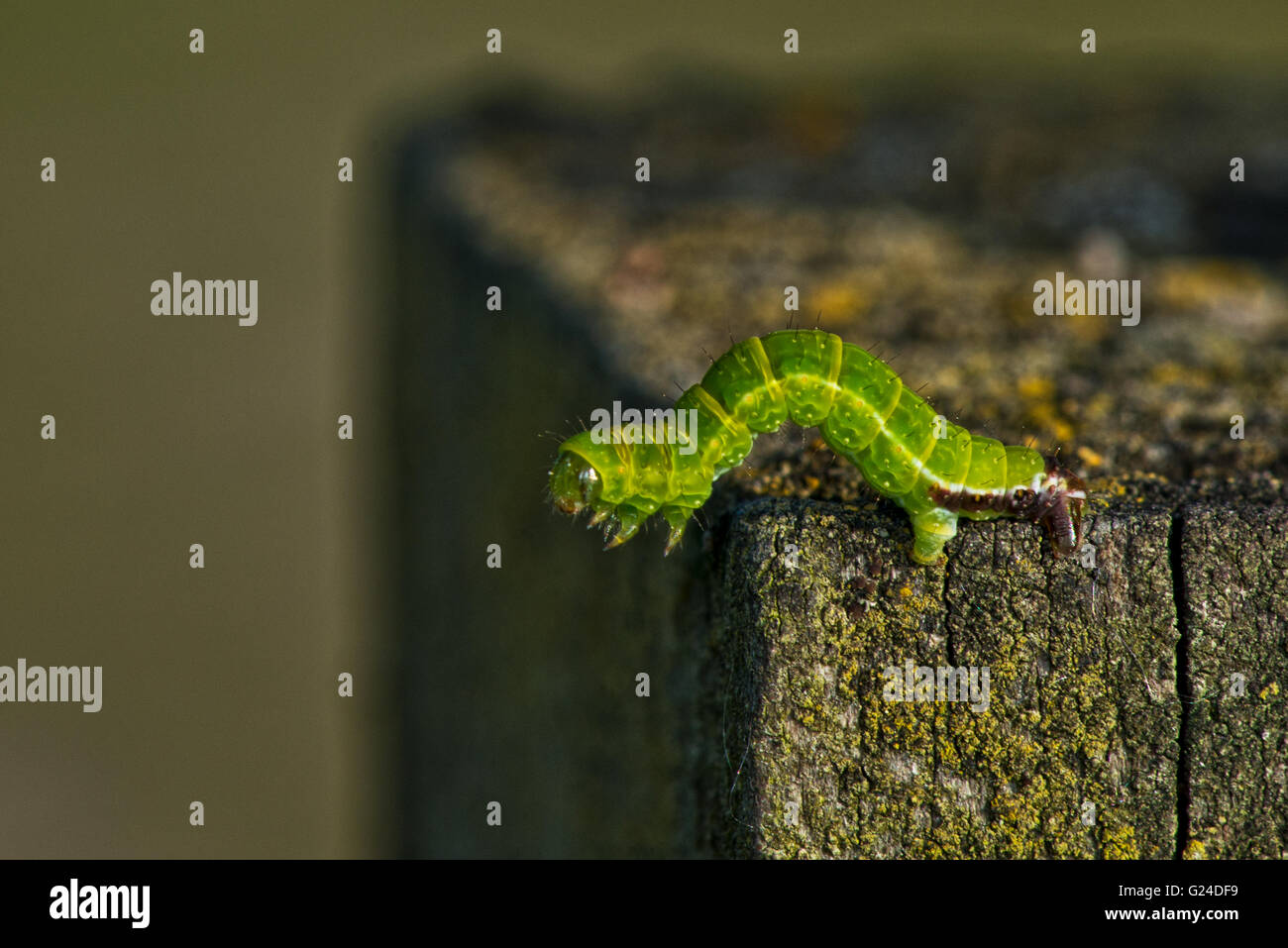 inchworm green stock photos u0026 inchworm green stock images alamy