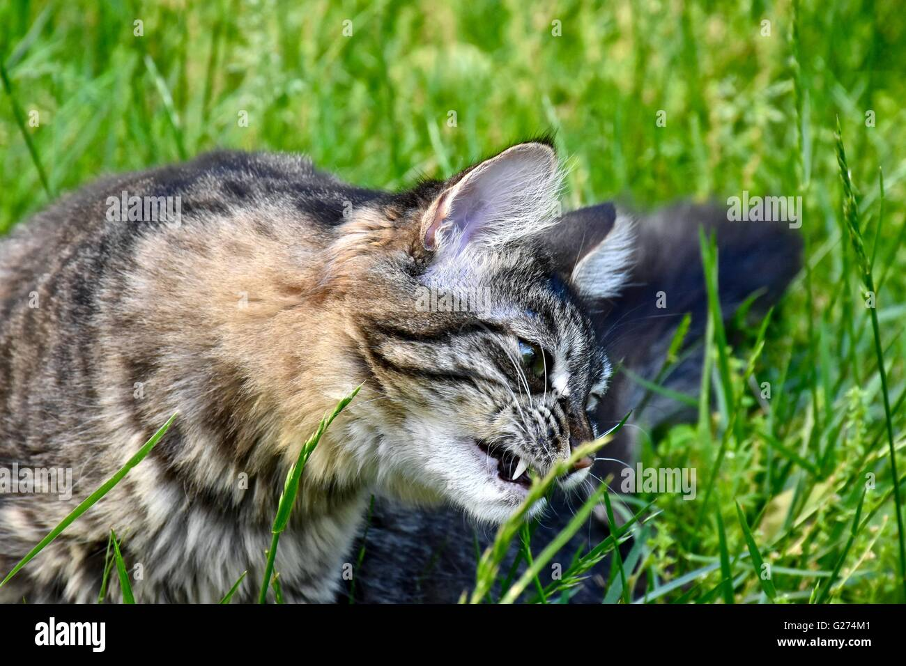 A cute cat playing outside in the grass Stock Royalty Free