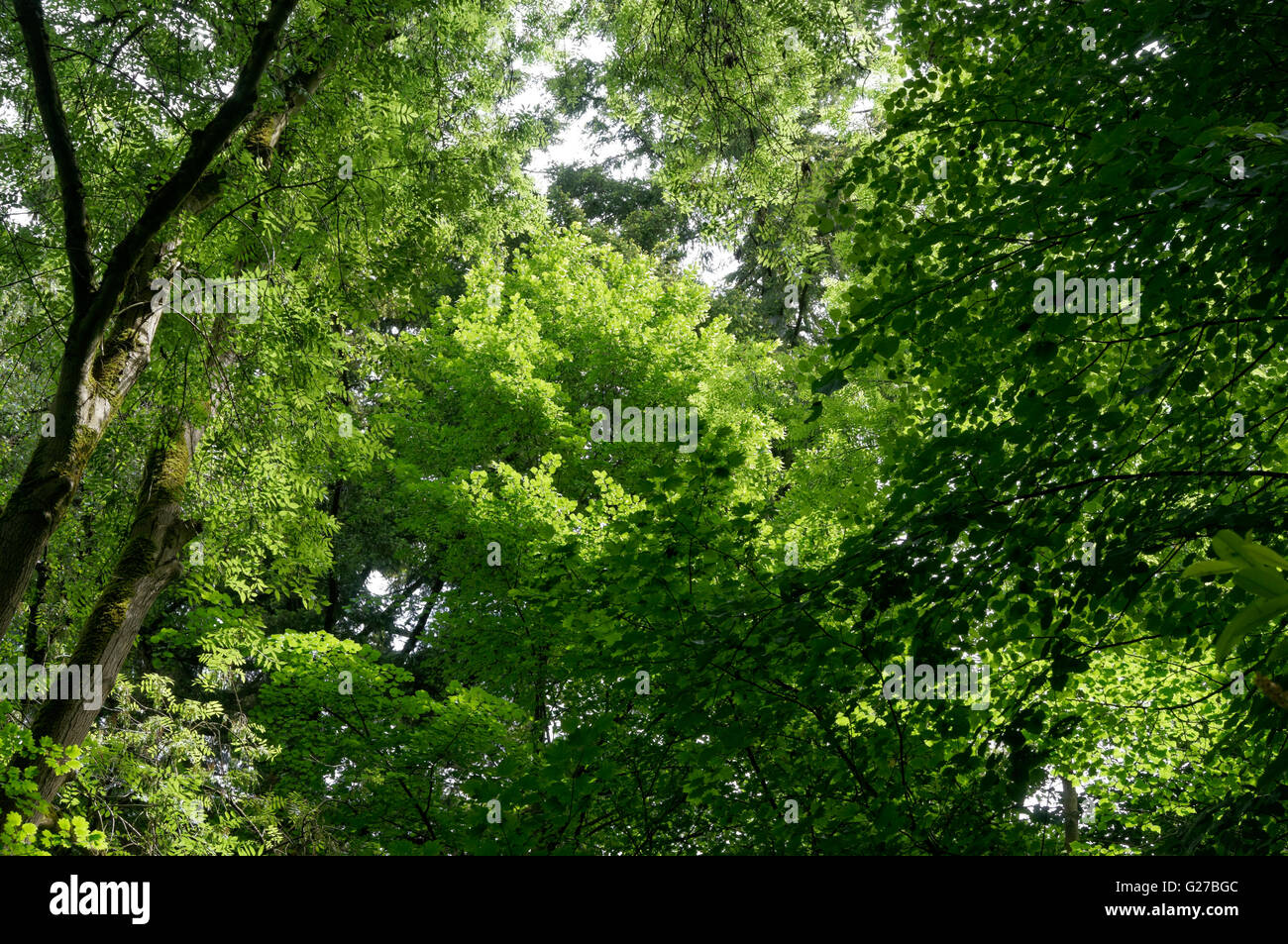 looking-up-into-the-green-canopy-of-a-te