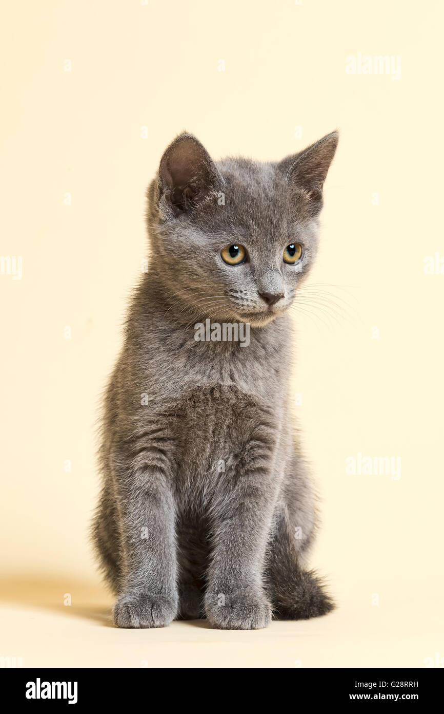 Purebred Cat Russian Blue Kitten age 9 weeks Stock