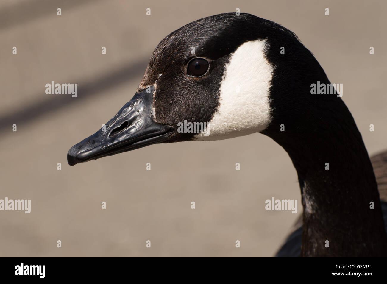 A close up portrait of a canada goose branta canadensis stock a close up portrait of a canada goose branta canadensis biocorpaavc Gallery