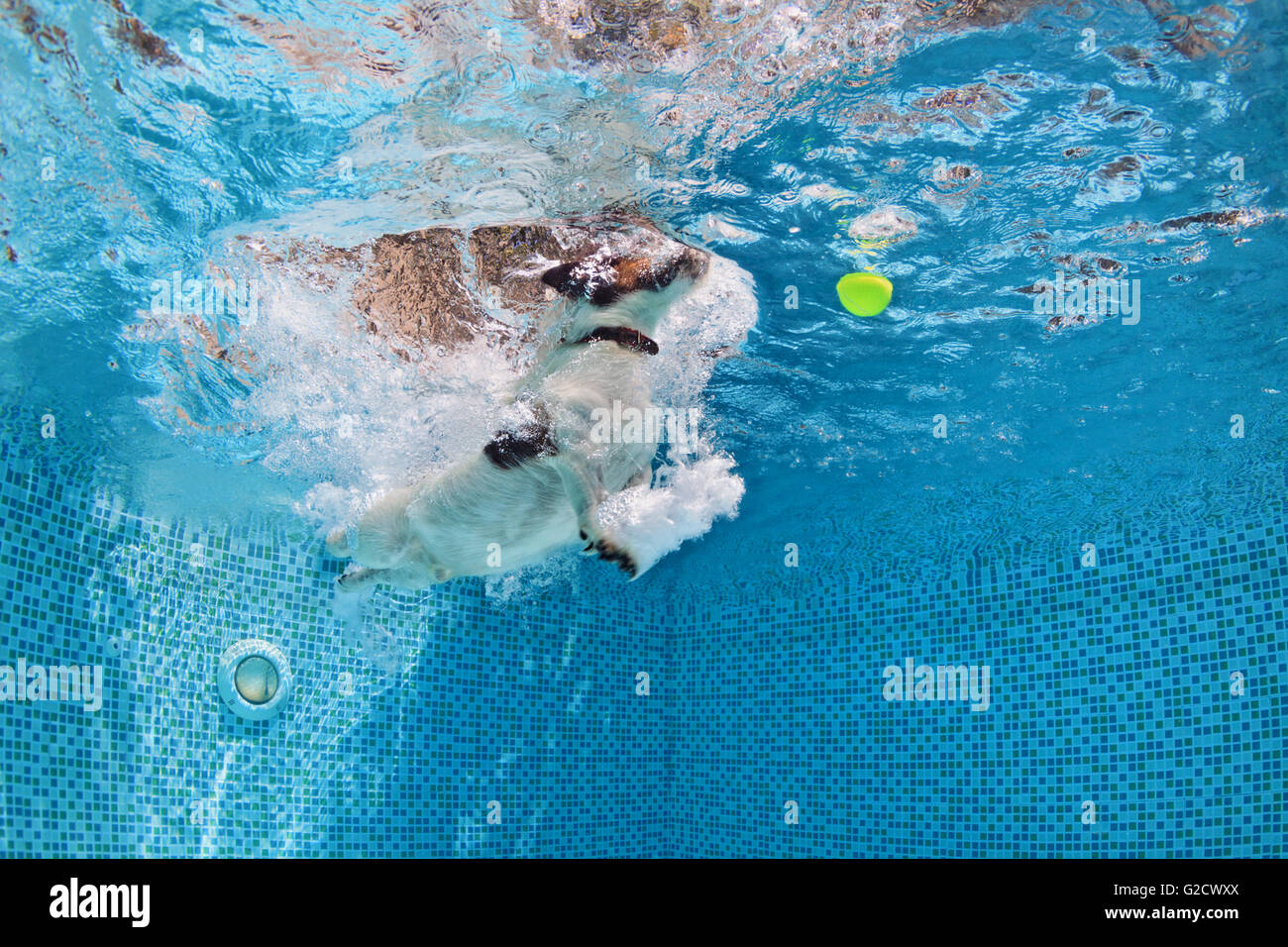 Playful jack russell terrier puppy in swimming pool training with fun stock photo royalty free for How to train your dog to swim in the pool