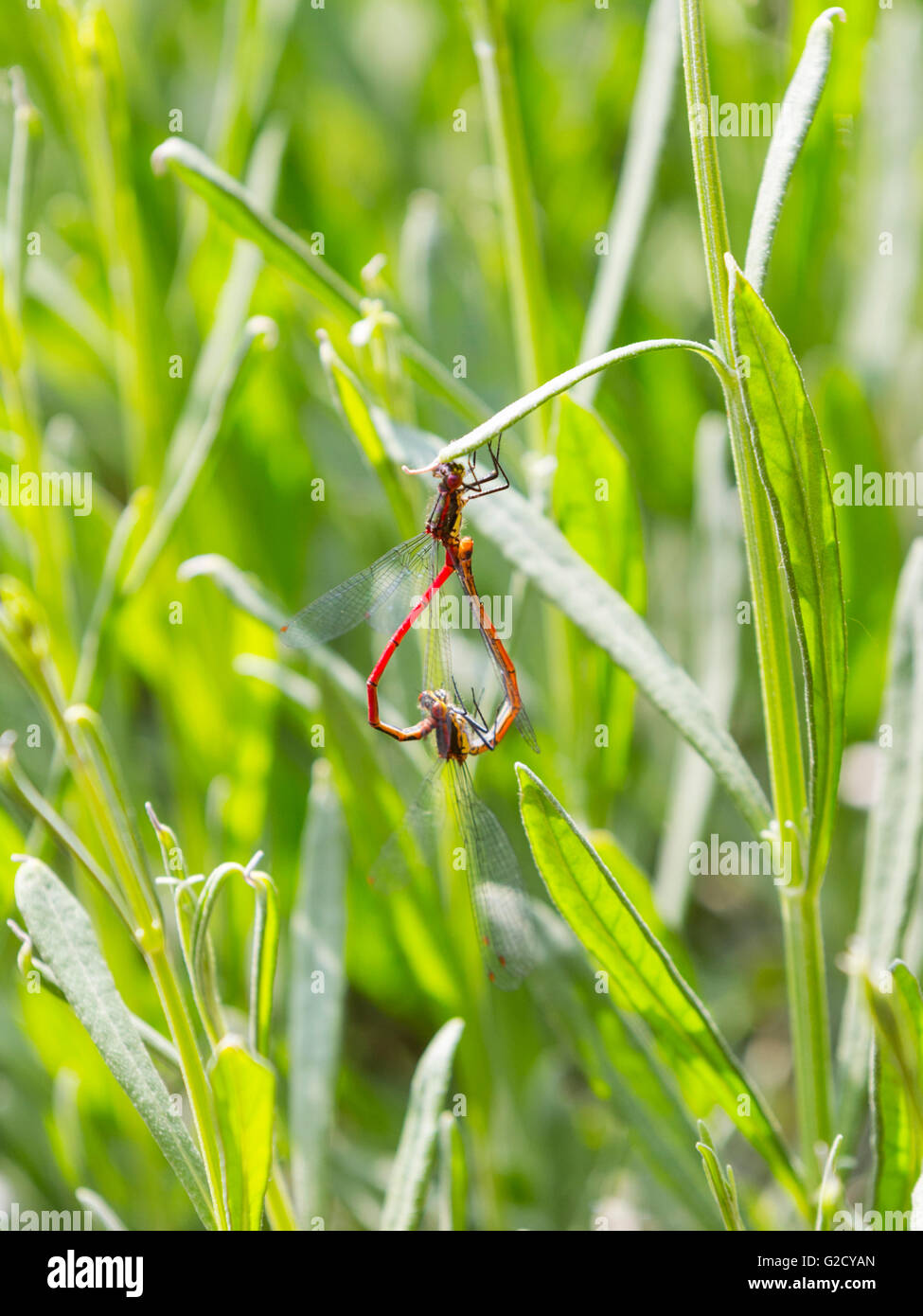 london uk 27th may 2016 two red damselflies mate forming a heart shape colourful damselflies emerge in a south london garden on a warm and sunny day - Cyan Garden 2016