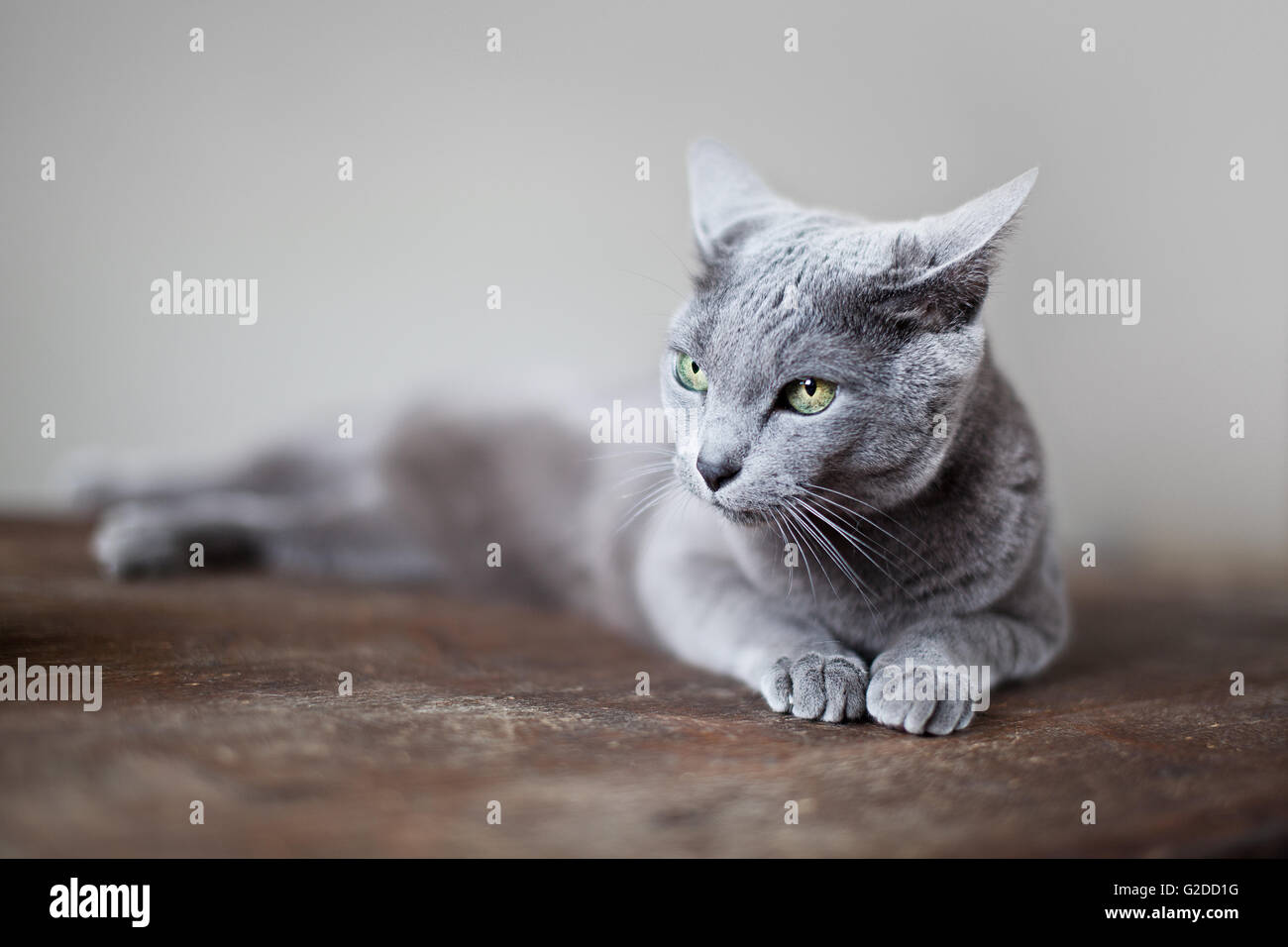Portrait of a purebred Russian Blue Cat Stock Royalty Free