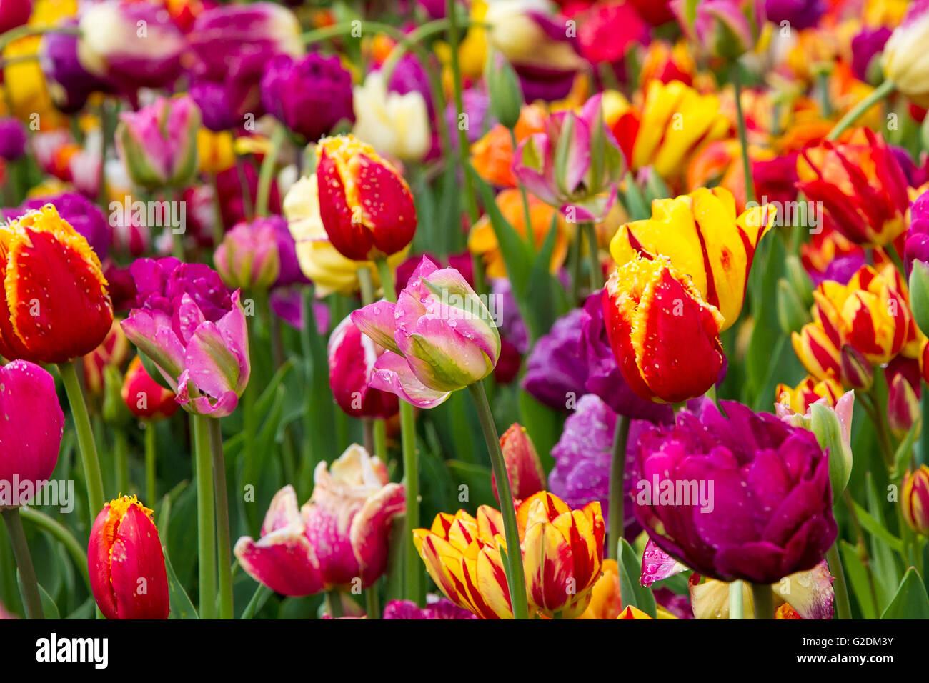 tulips tulip spring flower garden background nature red green