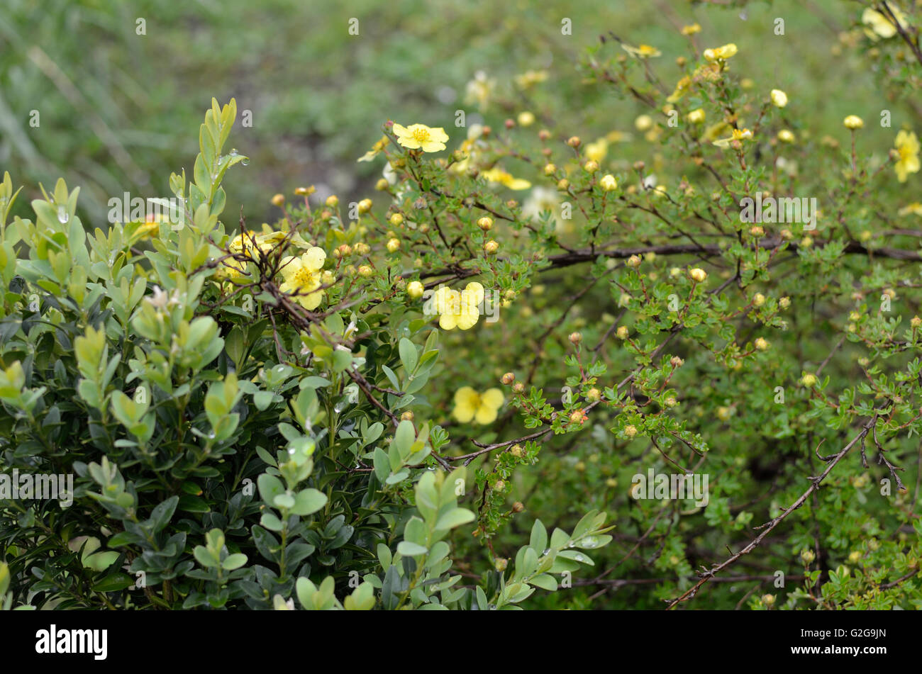Bush with small yellow flowers in spring time stock photo royalty bush with small yellow flowers in spring time dhlflorist Gallery