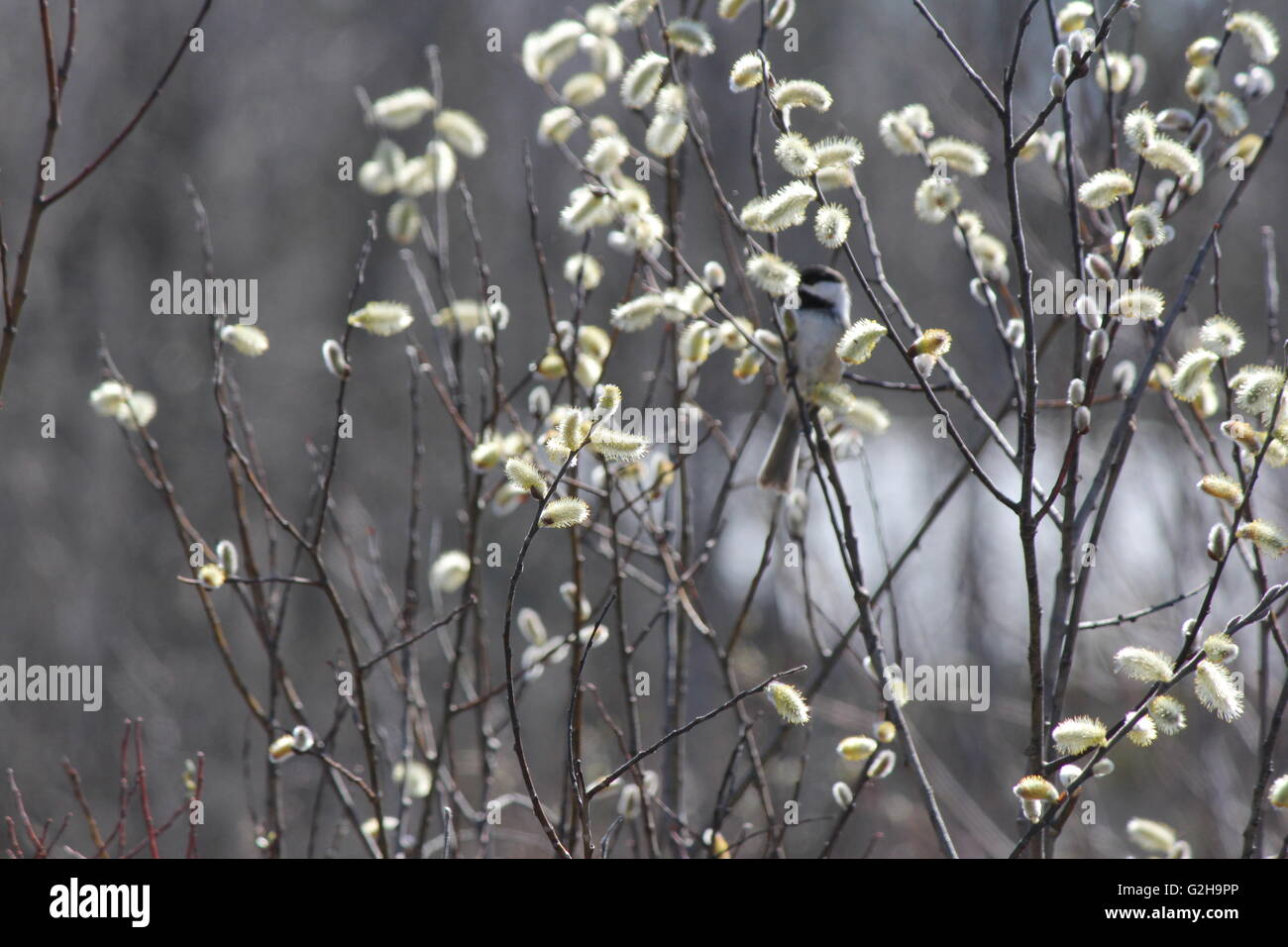 catkins on the branches of a pussy willow tree salix discolor early in the spring season with a little bird chickadee - Pussy Willow Tree