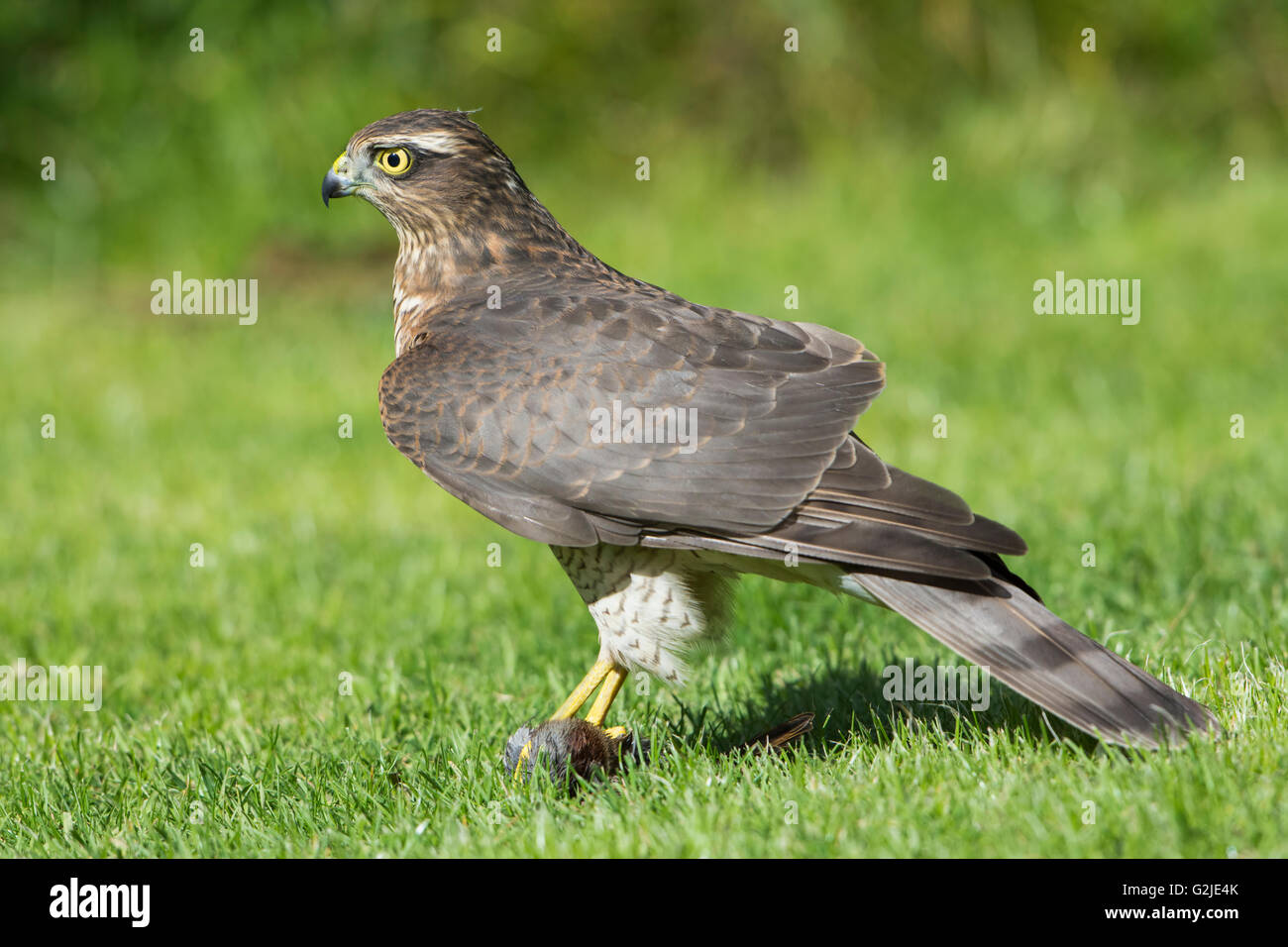 how to catch a sparrowhawk