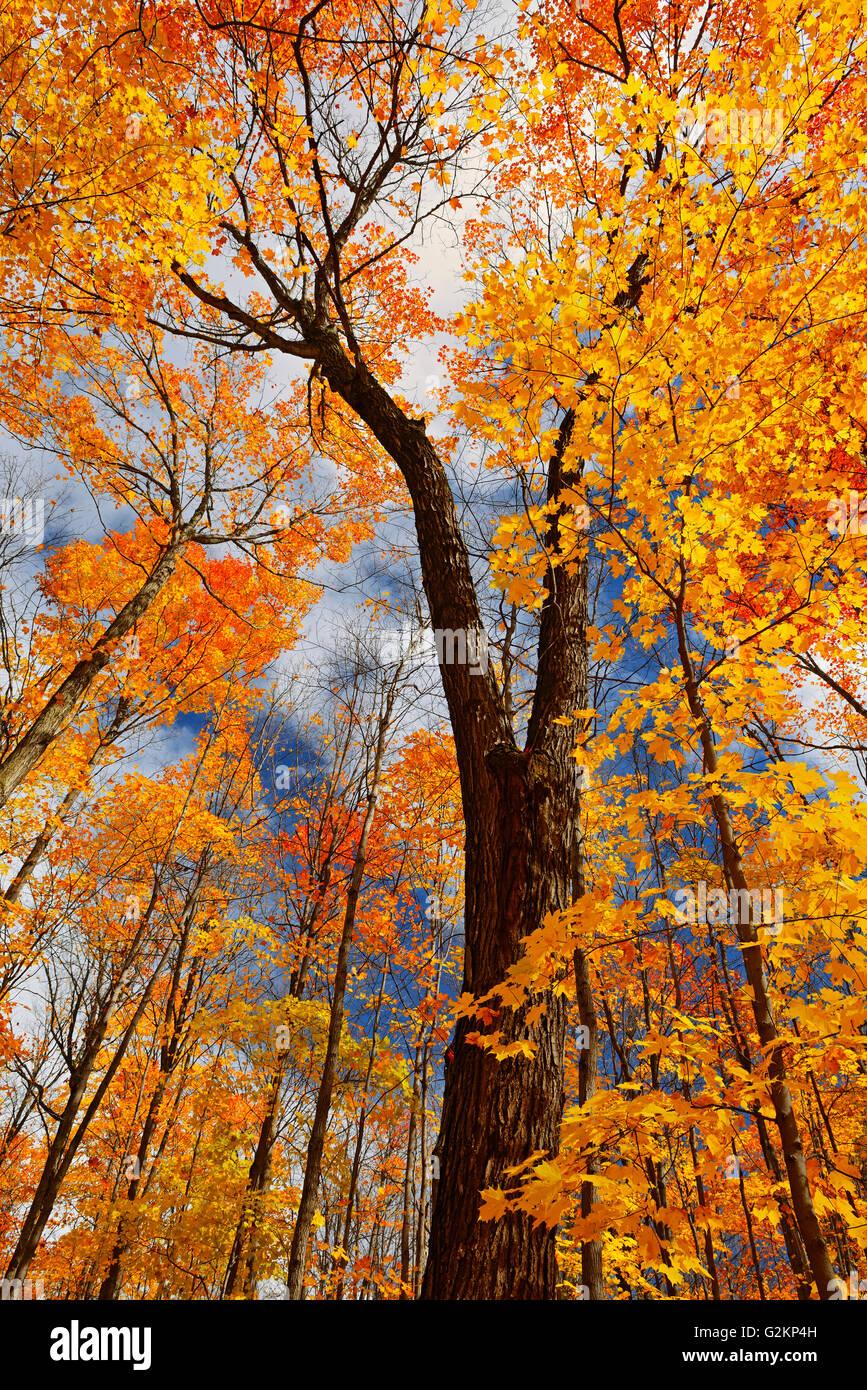 sugar maple forest in autumn fairbank provincial park. Black Bedroom Furniture Sets. Home Design Ideas