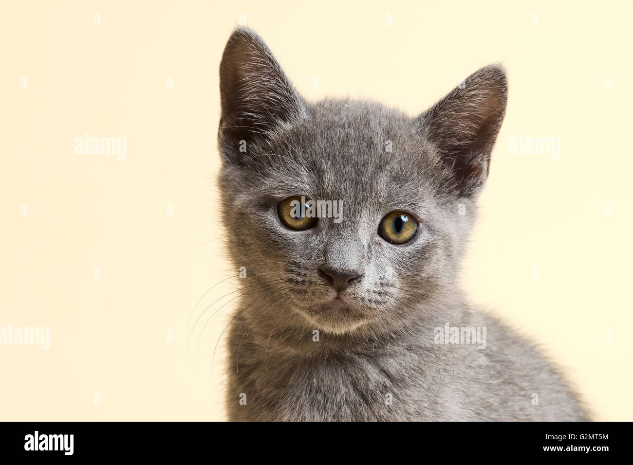 Purebred Cat Russian Blue Kitten 9 weeks old Stock