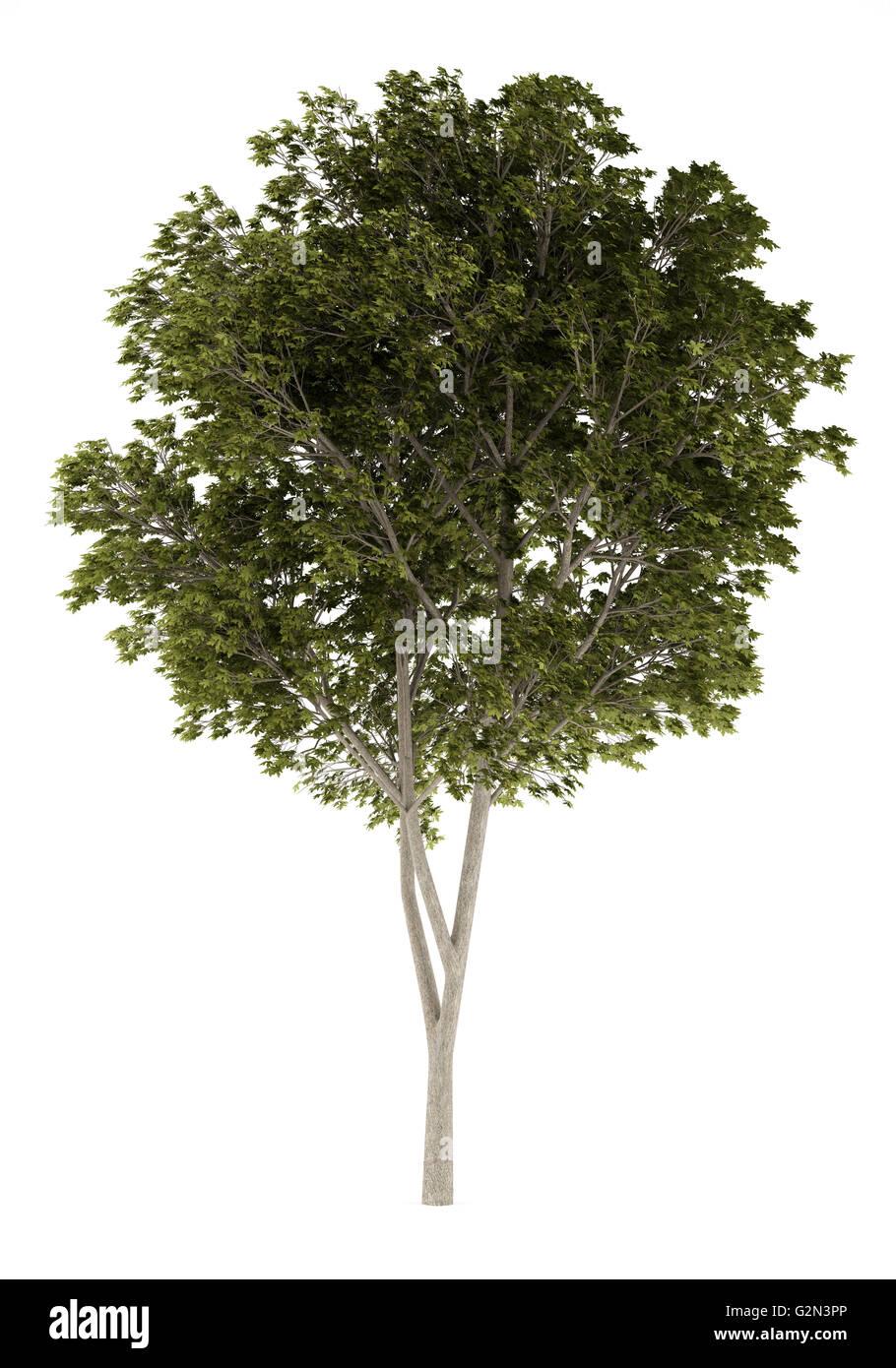 austrian oak tree isolated on white background stock photo