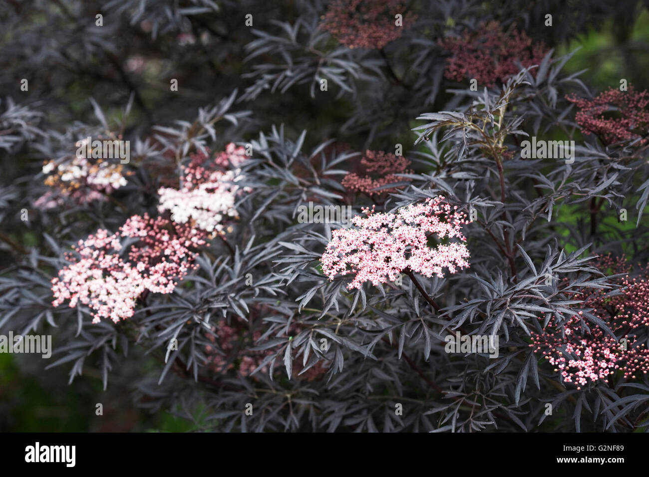 sambucus nigra f porphyrophylla black lace flowers. Black Bedroom Furniture Sets. Home Design Ideas