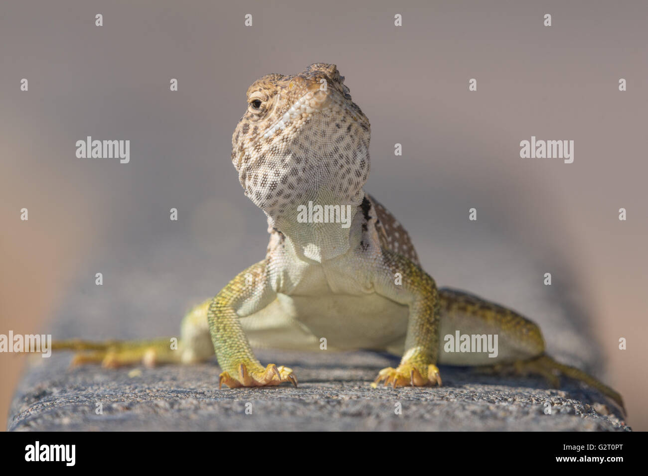 Eastern Collared lizard for sale - Crotaphytus collaris | Upcoming ...