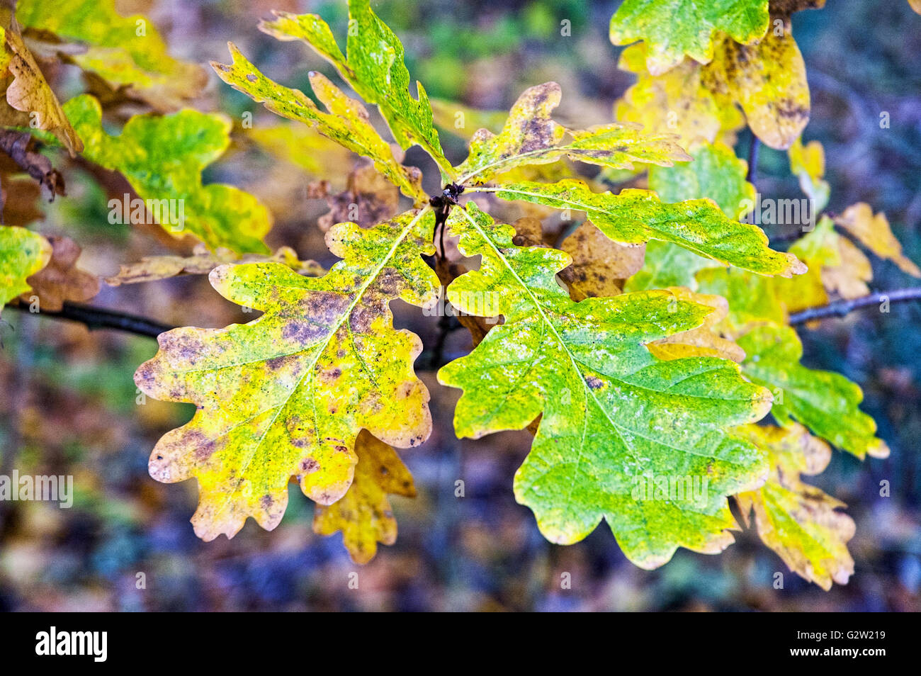 Close up of English Oak (Quercus robur) leaves changing colour in ...
