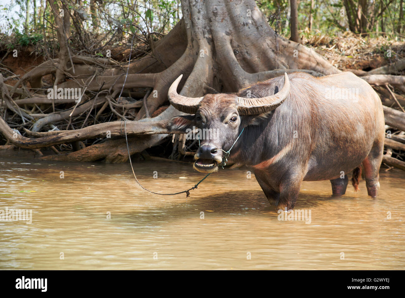 E Buffalo Channel Tied water buffalo in ...