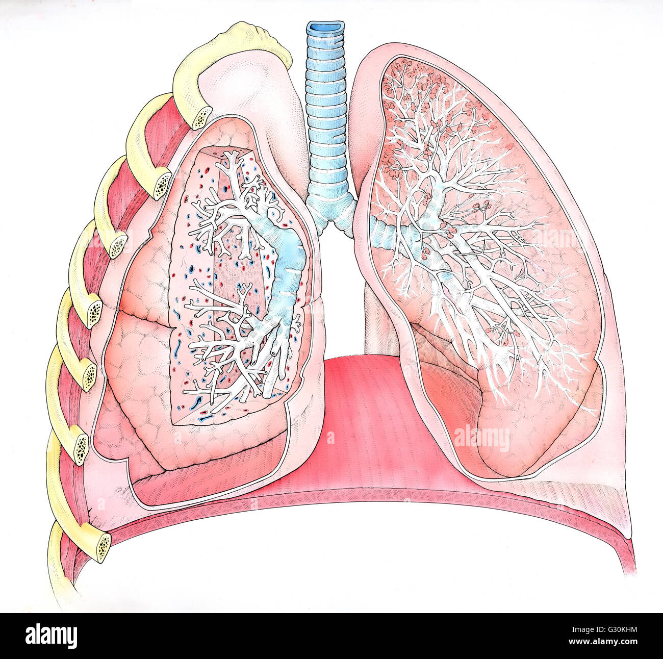 Illustration Of Right And Left Human Lungs  Cross Section