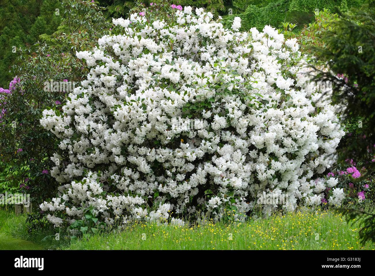 rhododendron online dating Liebe und dating  schwarzes brett   auf rund 46 hektar ist platz für über 10000 rhododendron- und azaleen-büsche  ©2018 bremenonline.