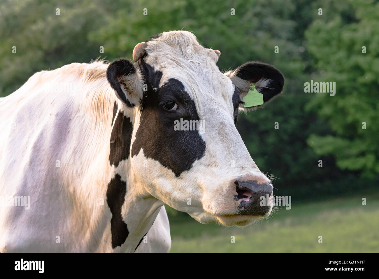 Black and White Holstein cow head and neck with green ...